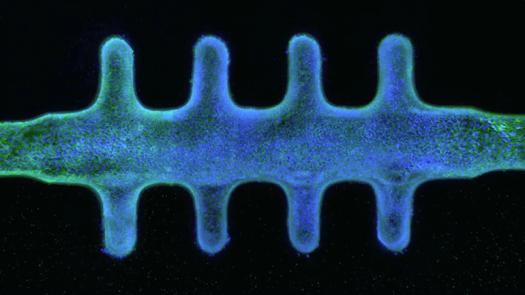 Intestinal Organoids Mimic Human Gut 2