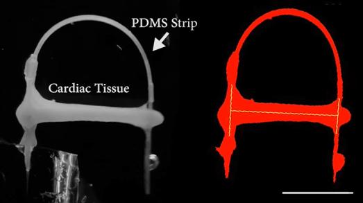 Heart Model Simulates Mechanical Load on Cardiac Tissues 3
