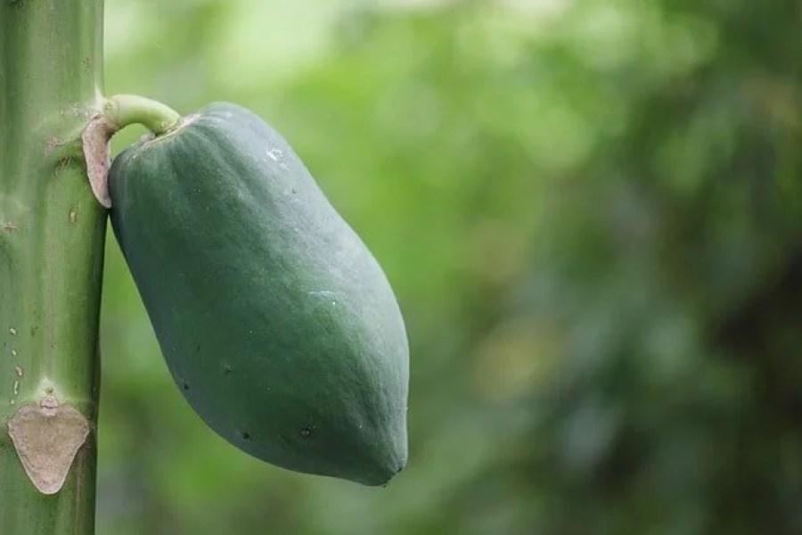 Green Papaya Health Benefits and Recipes