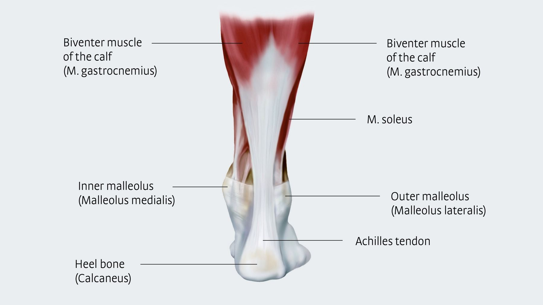 hight resolution of anatomy and importance of the achilles tendon