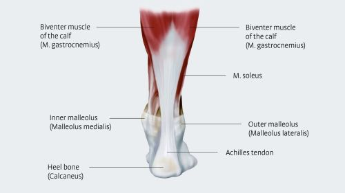 small resolution of anatomy and importance of the achilles tendon