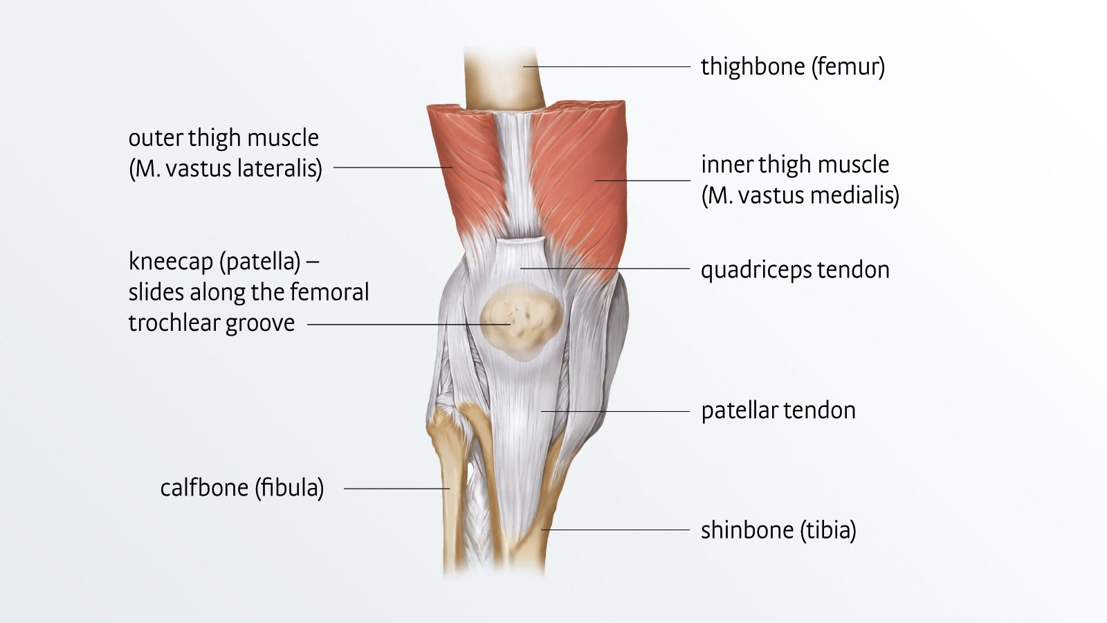 hight resolution of anatomy of the knee joint