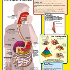 Digestive System Flow Chart Diagram 5 Pin Bowling Youtube Posters Uk Wholesale Healthy And Body