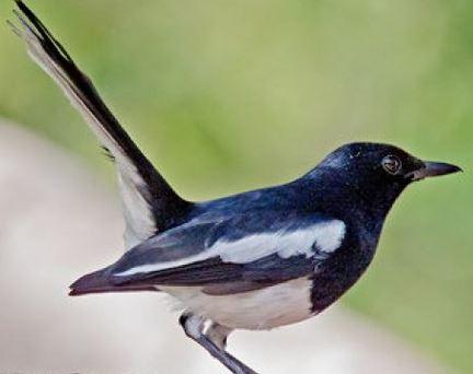 Birds of Bangladesh  MediaBangladeshnet  about