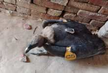 Photo of Nepal scripts success in conservation of White-rumped vultures