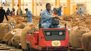 Photo of Zimbabwe tobacco sales gross US$86.3mln, twofold higher than last year