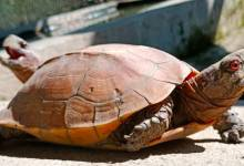 Photo of Keeled box turtle badly needs conservation strategy for survival