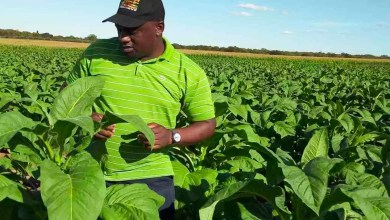 Photo of Zim's number of registered tobacco growers drops amid low appetite