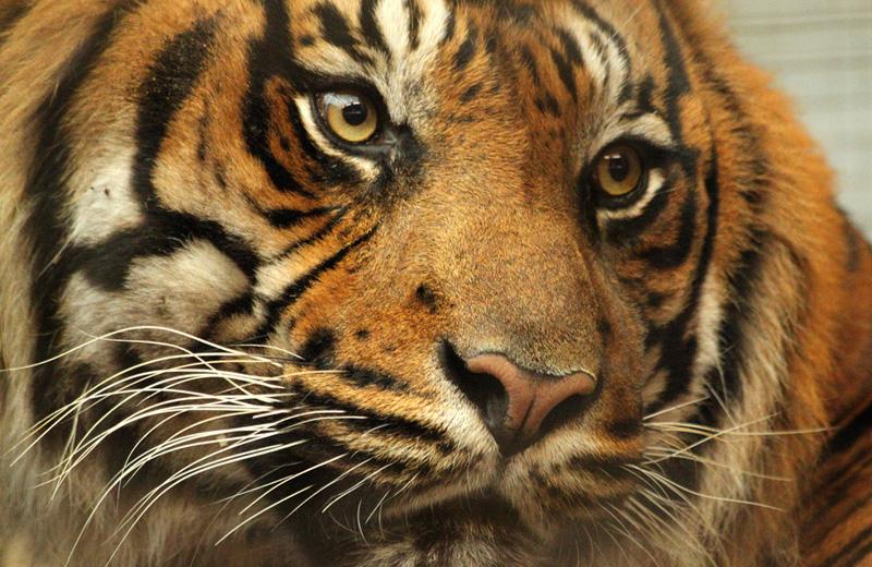 Alerte au tigre ! Le récit d'une folle journée médiatique (par l'AFP)