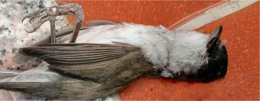 Uccellino collo fino