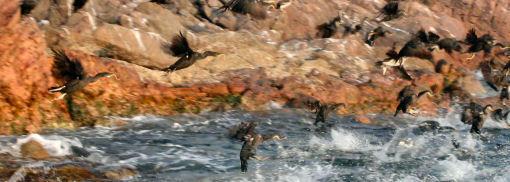 Cormorani dal becco storto