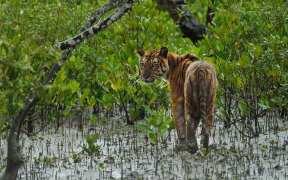 SBL Tiger Niladri Sarkar