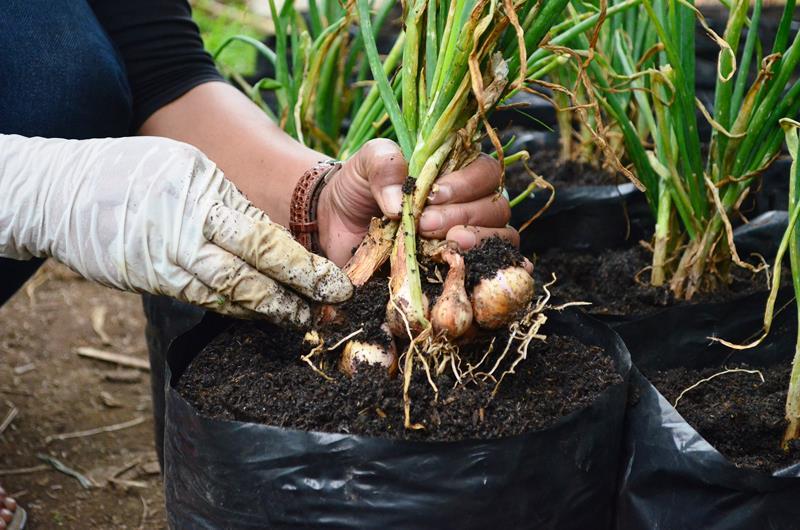 panen tanaman organik
