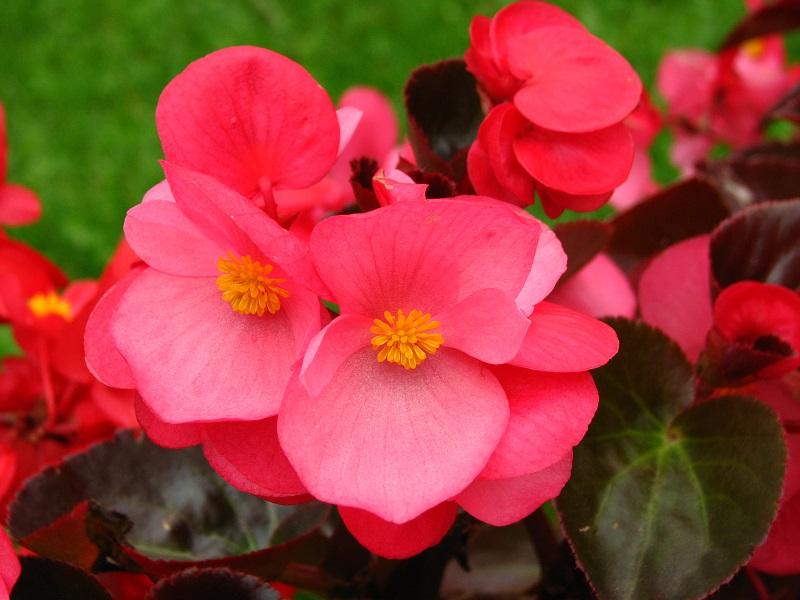tanaman Hias Bunga Begonia semperflorens