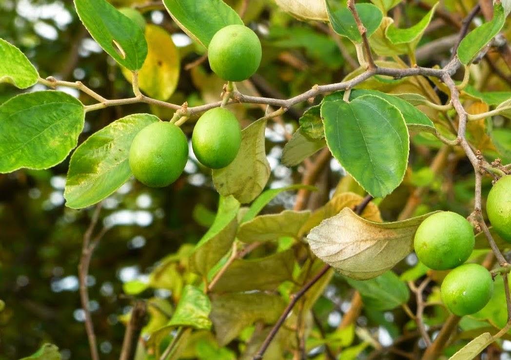 manfaat pohon bidara