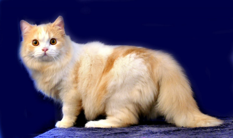 Kucing Persia Medium