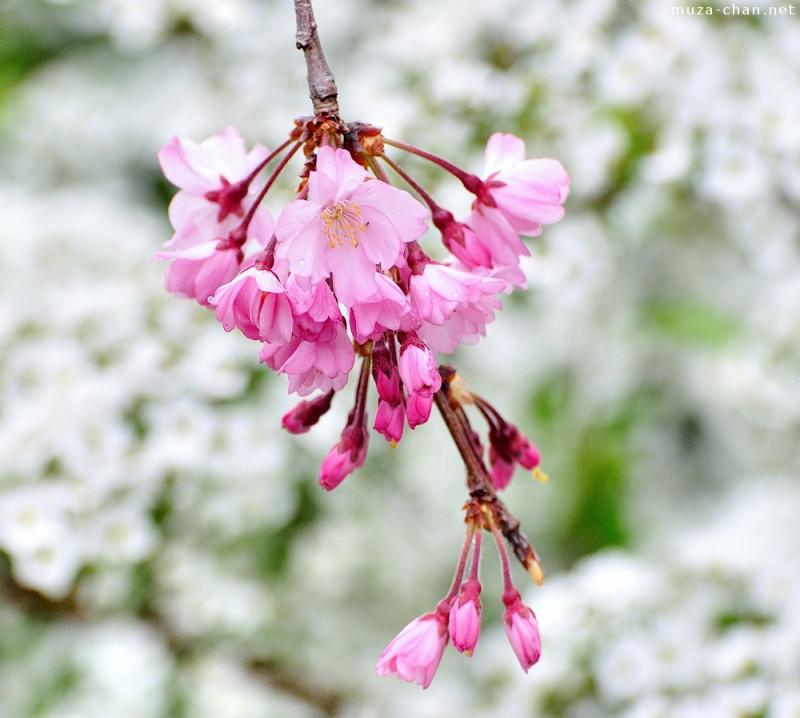 bunga sakura Shidarezakura