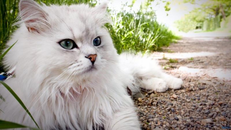 gambar kucing persia