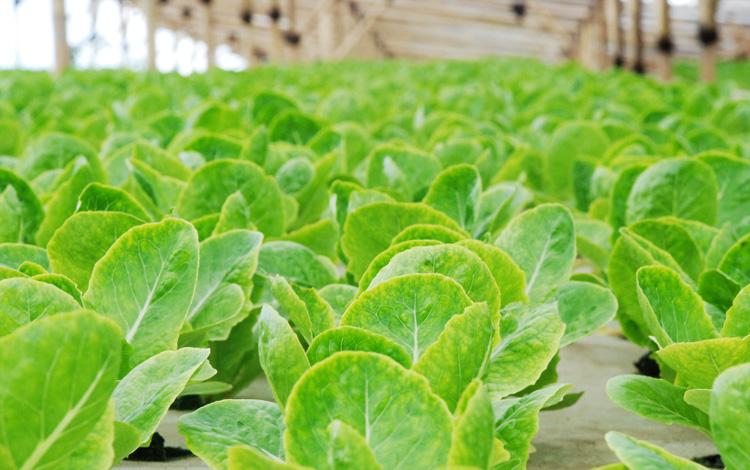 Budidaya Sayuran Hidroponik