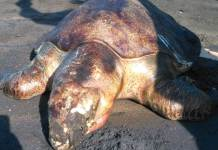 Satu ekor penyu lekang yang ditemukan mati di Pantai Perancak, Jembrana