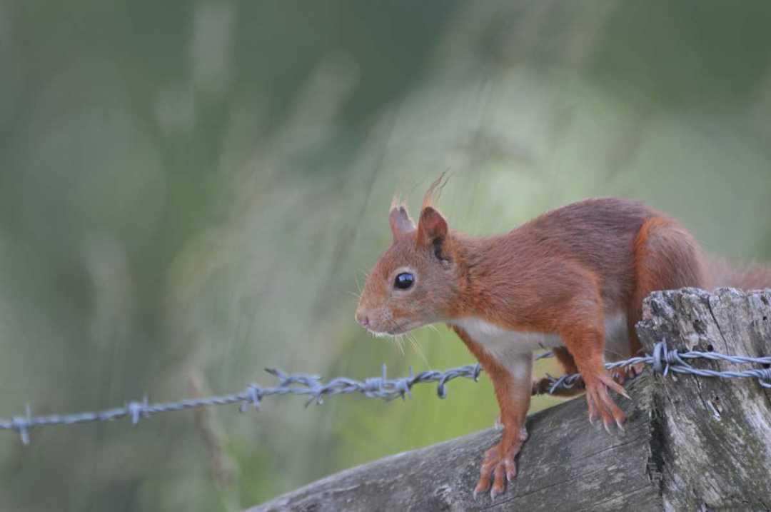 L'écureuil - Portfolio de Francis Gengoux