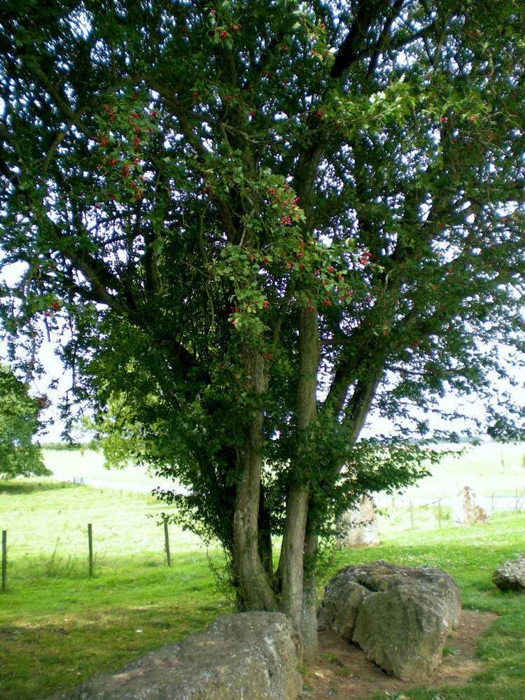 weris-arbre
