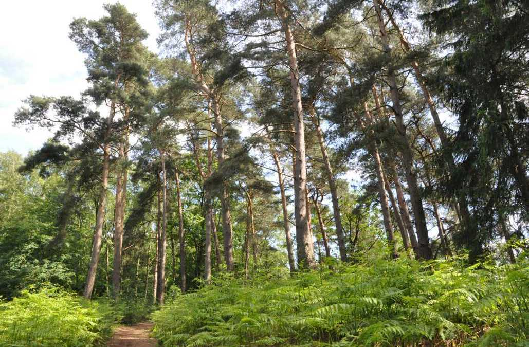 Le pin sylvestre, le bois de mine