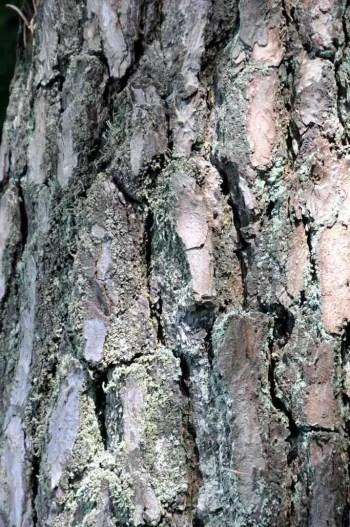 Ecorce pin âgé