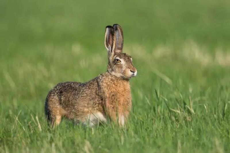 Le lièvre, un sprinter aux grandes oreilles