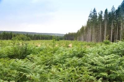 Les plantations d'épicéas en bordure de la Fagne.