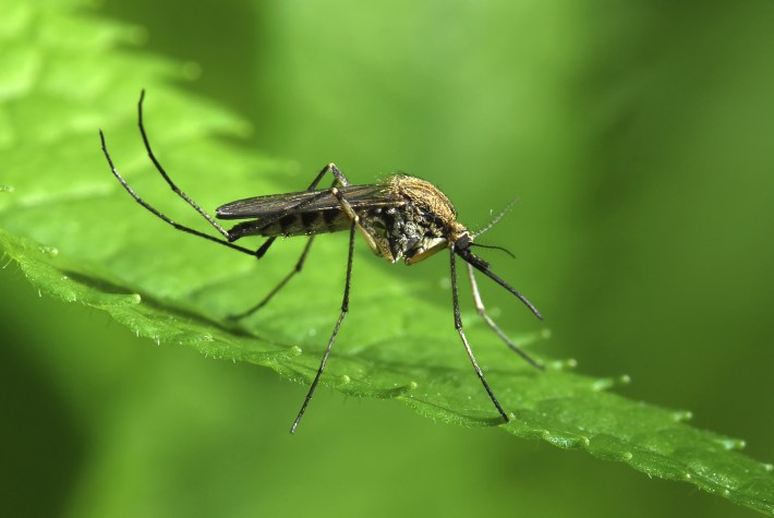 Image result for mosquito on leaf
