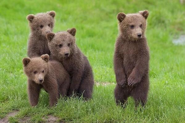 Best friends Four cute Brown Bear cubs (13195839) Framed Prints
