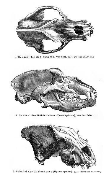 Photographic Print of Animal skulls engraving 1895 (Print