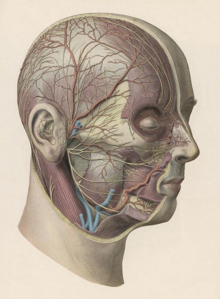 inside skull diagram mopar ignition wiring of head detailed showing muscles and veins the