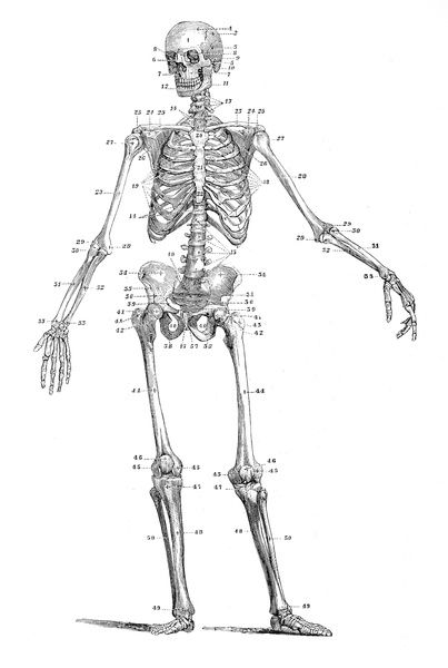 Human skeleton engraving 1875. American Dictionary of the