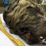 Kepala Serigala Berusia 40 Ribu Tahun Ditemukan