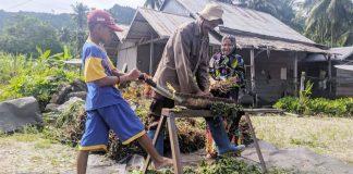 Petani Kolaka Utara Gencar Budidayakan Tanaman Nilam Penghasil Minyak Atsiri