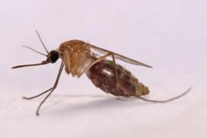 Anopheles gambiae; Moustique vecteur du paludisme