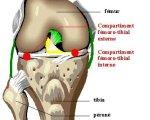 Anatomie du genou