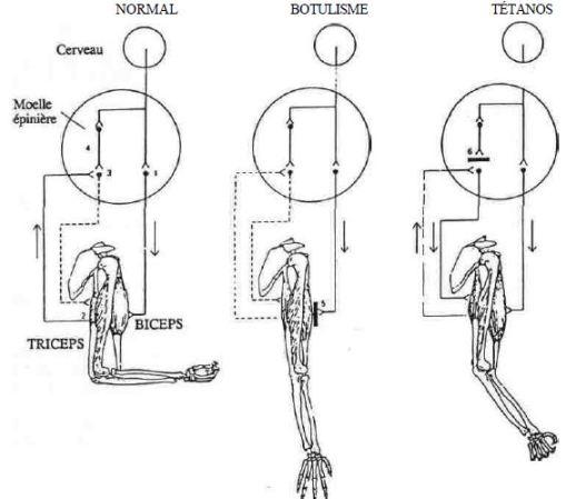SCHÉMA de l'innervation musculaire : d'après Van Heyningen