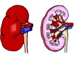 Anatomie des reins et de la voie excrétrice supérieure