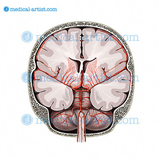 diagram of the human nose and throat single phase fan motor wiring medical anatomical illustrations brain | anatomy images from medical-artist.com