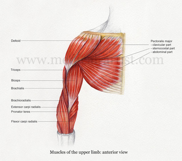 upper arm muscles diagram ryobi 790r fuel line shoulder anatomy illustrations healthy muscle limb illustrated in watercolour