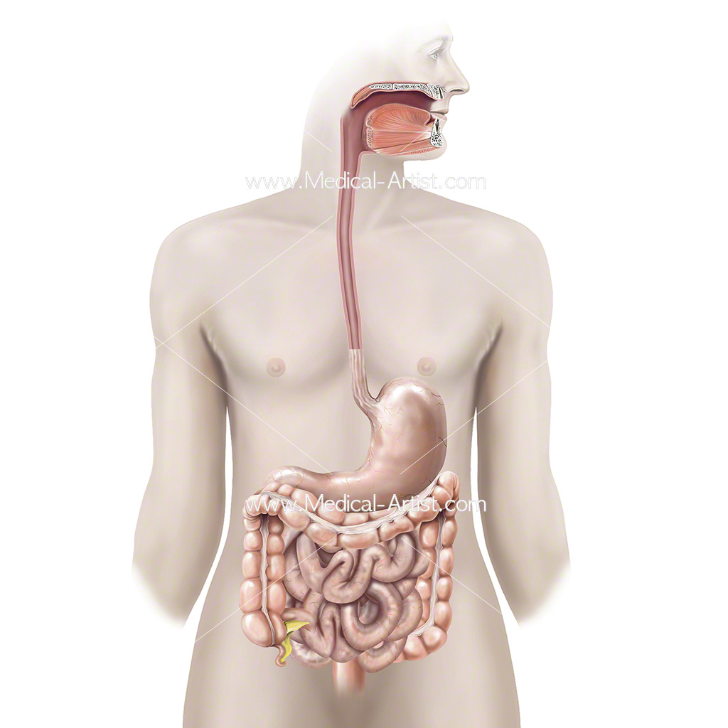 hight resolution of healthy gastrointestinal tract in an adult male