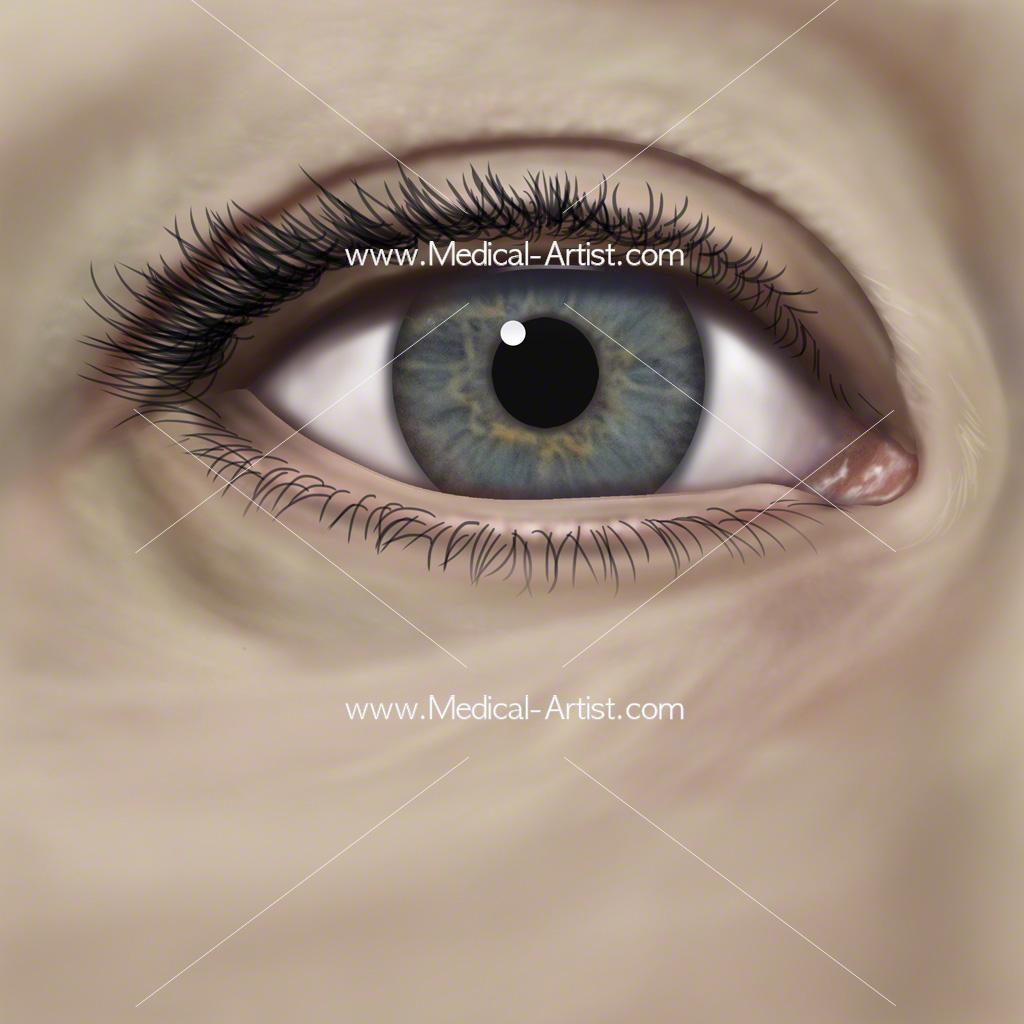 Eye Anterior View