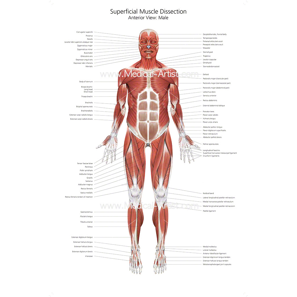 The Muscular System Labeled Human Anatomy Drawing Muscle