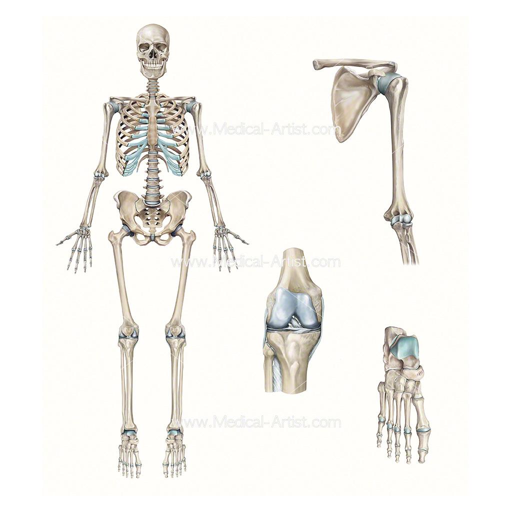 hight resolution of full skeleton knee shoulder foot compilation