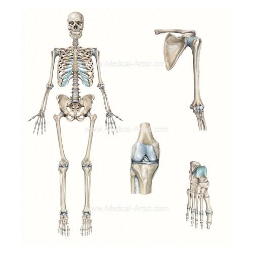 small resolution of full skeleton knee shoulder foot compilation