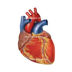 Realistic Heart Diagram Super Beetle Wiring Medical Illustrations Anatomy Human