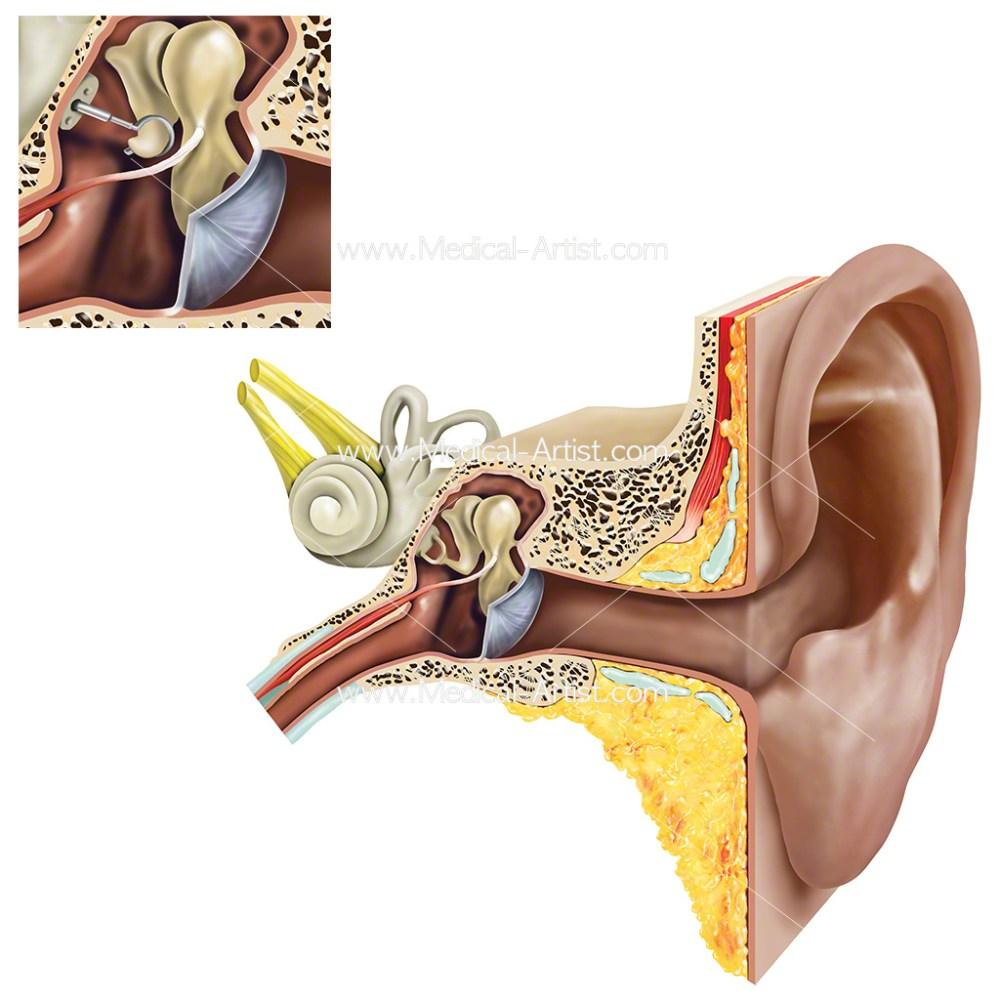 medium resolution of ear anatomy